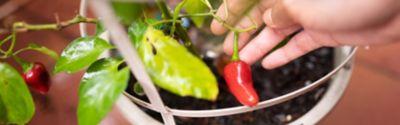 Paprika im Topf anpflanzen