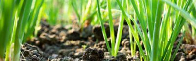 eingepflanzte Lauchzwiebeln