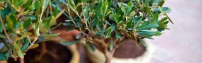 Olivenbäume richtig gießen – im Innen- oder Außenbereich