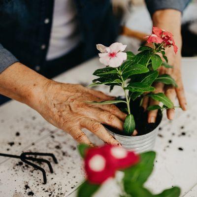 Eine Person topft eine Blume um