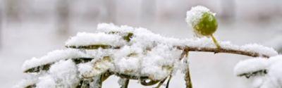 Olivenbaum im Winter pflegen – drinnen oder draußen