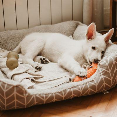 Kleiner weißer Hund liegt mit Spielzeug in seinem Hundebett