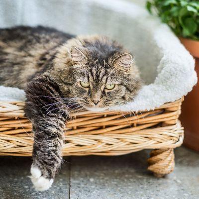 Eine schwarz-grau gemusterte Katze, die auf einem Katzenbett mit weißem Fellbezug liegt und ihre rechte Pfote ausstreckt.