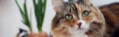 Braune Katze mit grünen Augen