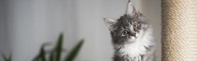 Grau-schwarze Katze mit seitwärts geneigtem Kopf
