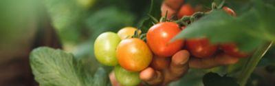 Bündel Kirschtomaten an der Pflanze