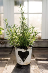 Potted rosemary sitting on a wooden table