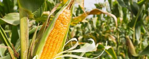 Close up of corn on the cob, still on the plant before being harvested