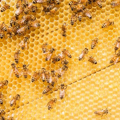Bienenschwarm an einer Wabe