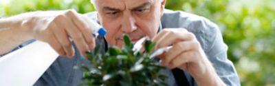 Ficus Ginseng gießen – das solltest du beachten