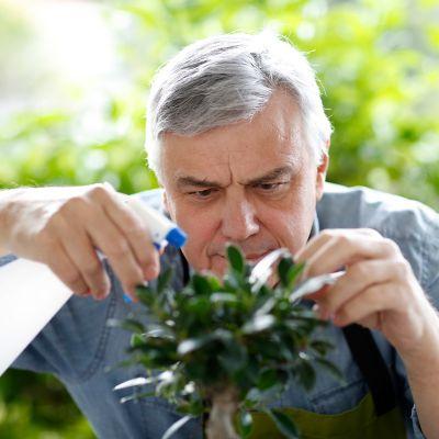 Ficus Ginseng gießen