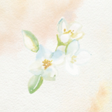 Oil Ultime Jasmine Watercolour Painting