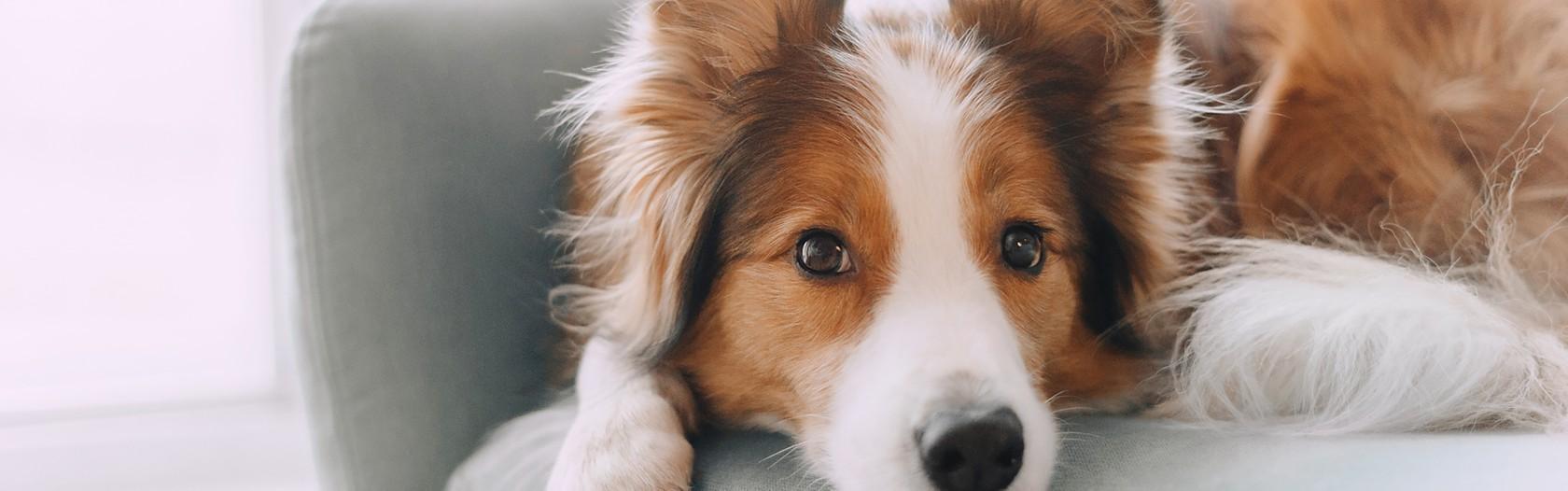 Wie du dein Zuhause mit Hund sauber halten kannst, Hund liegt auf der Couch