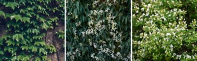 Hedera helix (Gemeiner Efeu), Clematis armandii (Armands Waldrebe) und Lonicera japonica (Japanisches Geißblatt)