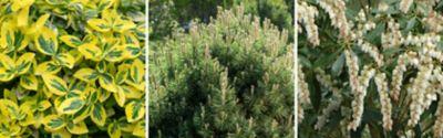 Euonymus fortunei (Kriechspindel), Zwergkonifere und Pieris 'Forest Flame' (Schattenglöckchen)