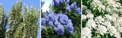 Rosmarinus officinalis (Rosmarin), Ceanothus 'Delight' (Säckelblume) und Iberis sempervirens (Immergrüne Schleifenblume)