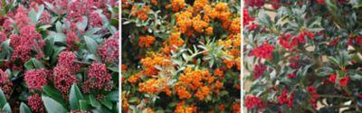 Skimmia japonica (Japanische Blütenskimmie), Pyracantha 'Orange Glow' (Feuerdorn) und Ilex (Stechpalme)