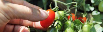 tomaten düngen