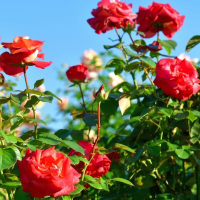 Remove Aphids on Roses
