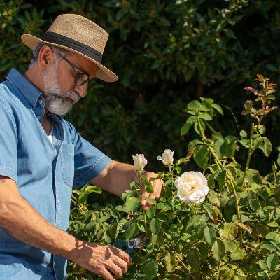 cut roses to grow