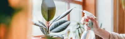 Die richtige Pflege eines Gummibaums