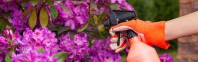 Blattläuse entfernen, Rhododendron wird mit Sprühflasche eingesprüht