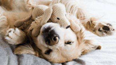 Ένα λαμπραντόρ χαλαρώνει ακουμπώντας στην πλάτη του, στον λαιμό του έχει ένα λούτρινο σκυλακι.