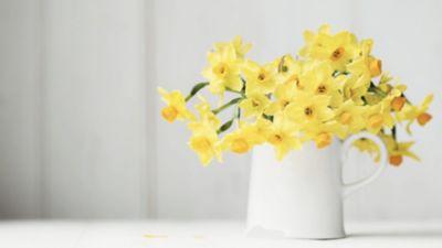 Beyaz bir vazo içinde sarı nergisler