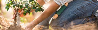 Einen Pflaumenbaum pflanzen – wann und wie?