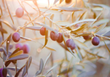 Olive oil – universal beauty ingredient