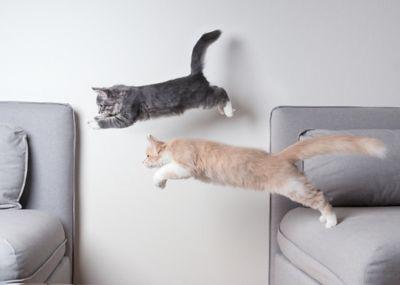 Katzensichere Wohnung, Katzen springen vom einen auf das andere Sofa