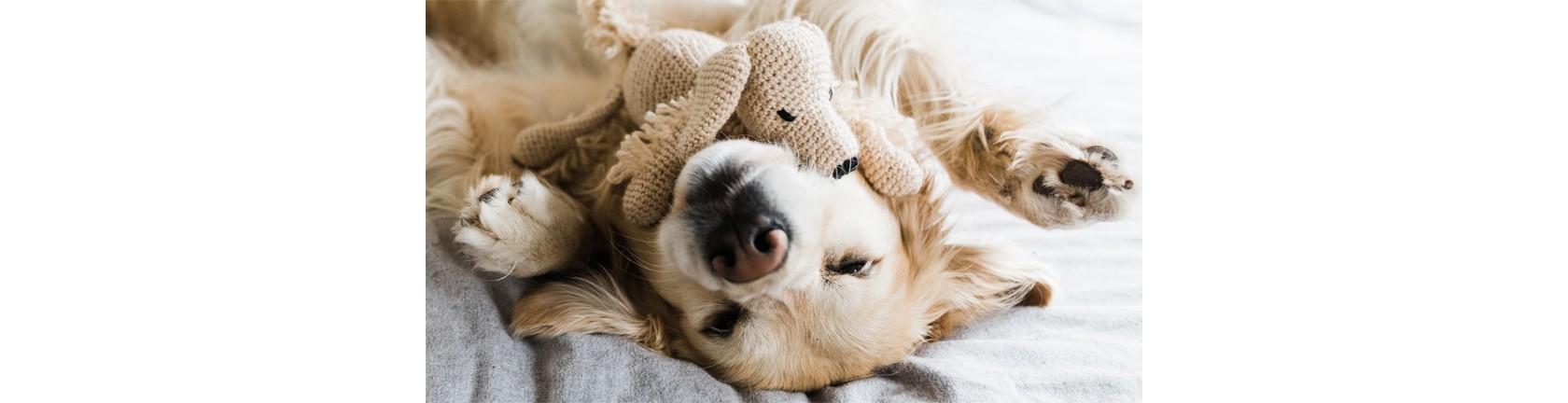 Ein Labrador entspannt auf dem Rücken, auf seinem Hals liegt ein Plüschhund.