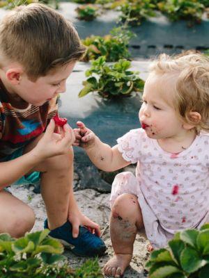 Ein kleiner Junge und ein kleines Mädchen naschen frisch gepflückte Erdbeeren vom Feld, das Mädchen hat bereits rote Erdbeerflecken auf ihrer Kleidung.