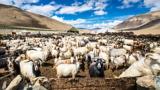 Eine Herde Kaschmir-Ziegen in einem Tal